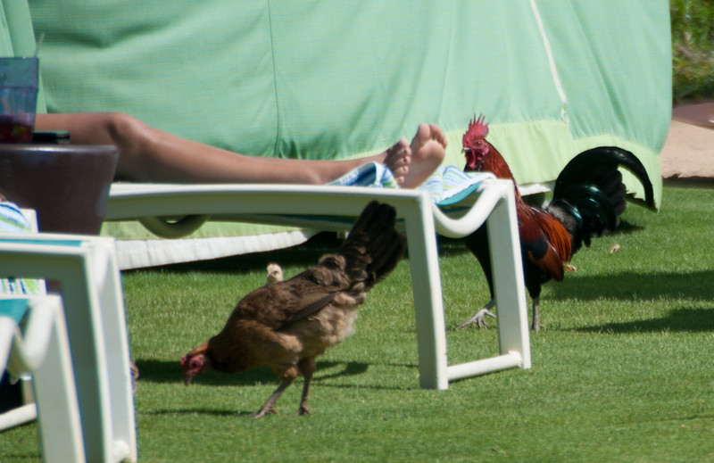 I was wrong.  I didn't think there were any chickens on the beach!