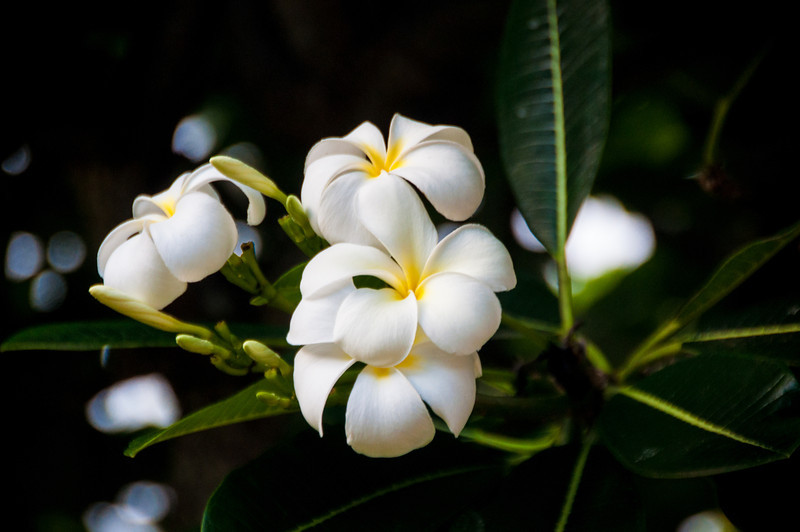 The frangipani are so perfectly shaped