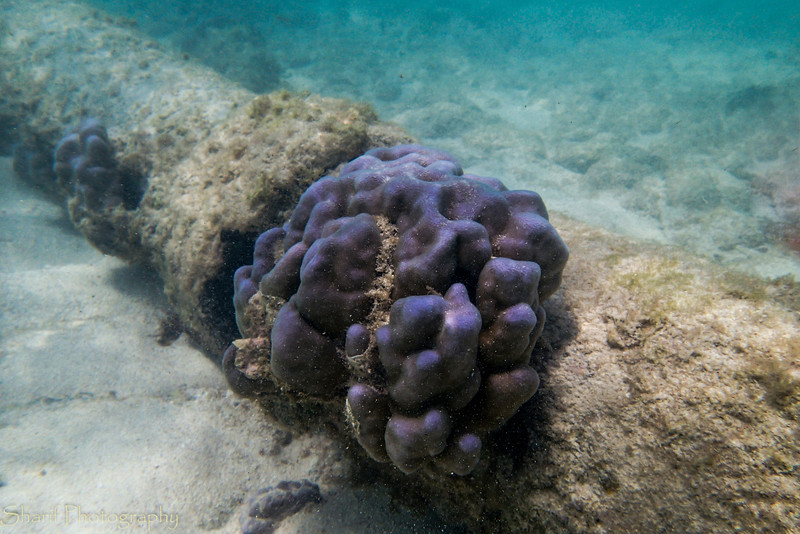 A coral formation growing on an abandoned pipe in the water.