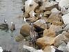 109 Coquimbo fish market scraps feeding frenzy
