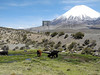 865  Alpacas grazing with Parinacota behind