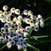 Pearly Everlasting along Crab Lake Trail<br /> Sept. 2013