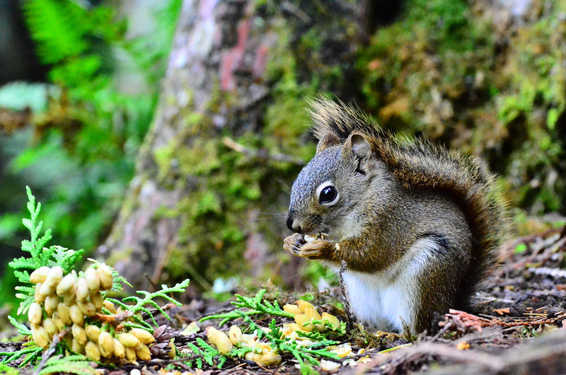 "This red squirrel was so intent on eating the ""nuts"" from the cedar tree, that he let me slowly creep to within inches!  These photos were taken not with a telephoto lens, but with the Nikon's macro lens!!<br /> Sept. 8, 2013"