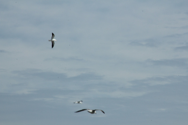 Gulls gliding on the wind
