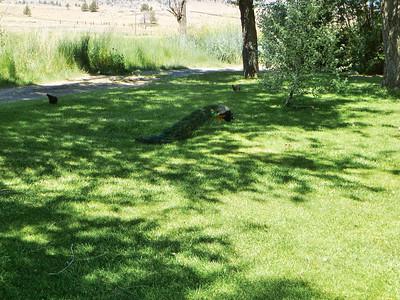 Peacock at Richardson Rock Ranch