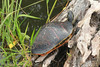 May 3, 2014 - (Everglades National Park [Royal Palm Visitor Center] / Miami-Dade County, Florida) --  Painted Turtle [Chrysemys picta]