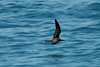 May 1, 2014 - (Dry Tortugas National Park [enroute to Hospital Key from Yankee Freedom III] / Monroe County, Florida) -- Brown Noddy