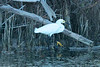 May 5, 2014 - (Fort Myers Beach / Lee County, Florida) -- Snowy Egret