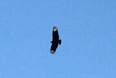 April 28, 2014 - (Babcock/Webb Wildlife Management Area / Punta Gorda, Charlotte County, Florida) -- Black Vulture