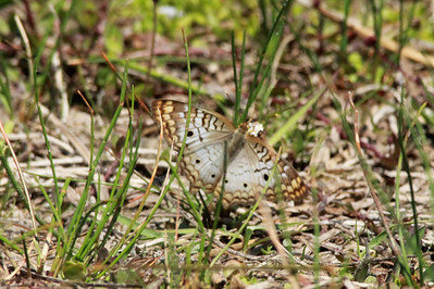 April 28, 2014 - (Babcock/Webb Wildlife Management Area / Punta Gorda, Charlotte County, Florida) -- White Peacock Butterfly [Anartia jatrophae]