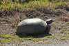 May 4, 2014 - (Shell Island Road / Naples, Collier County, Florida) -- Gopher Tortoise [Gopherus polyphemus]