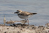 May 4, 2014 - (Marco Island [Tiger Tail Beach] / Collier County, Florida) -- Wilson's Plover