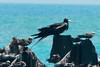 May 1, 2014 - (Dry Tortugas National Park [Garden Key / Fort Jefferson] / Monroe County, Florida) -- Magnificent Frigatebird with Brown Noddies