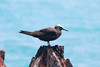 May 1, 2014 - (Dry Tortugas National Park [Garden Key / Fort Jefferson] / Monroe County, Florida) -- Brown Noddy
