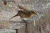 May 1, 2014 - (Dry Tortugas National Park [Garden Key / Fort Jefferson] / Monroe County, Florida) -- Palm Warbler
