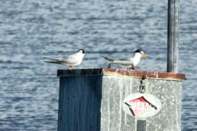 April 28, 2014 - (Babcock/Webb Wildlife Management Area / Punta Gorda, Charlotte County, Florida) -- Least Tern