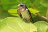 May 1, 2014 - (Dry Tortugas National Park [Garden Key / Fort Jefferson] / Monroe County, Florida) -- Barn Swallow