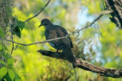 April 29, 2014 - (Archbold Biological Station / Venus, Highlands County, Florida) -- White-winged Dove