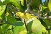 May 4, 2014 - (Marco Island [Tiger Tail Beach parking lot] / Collier County, Florida) -- Yellow Warbler