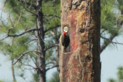 April 28, 2014 - (Babcock/Webb Wildlife Management Area / Punta Gorda, Charlotte County, Florida) -- Red-bellied Woodpecker at a Red-cockaded Woodpecker nest cavity
