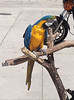 May 4, 2014 - (Tamiami Trail East Highway 41 [at roadside gas station] / Naples, Collier County, Florida) -- Blue and gold Macaw