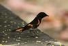 May 1, 2014 - (Dry Tortugas National Park [Garden Key / Fort Jefferson] / Monroe County, Florida) -- American Redstart