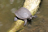 May 4, 2014 - (Big Cypress National Preserve [visitor center boardwalk] / Ochopee, Collier County, Florida) -- Florida softshell turtle [Apalone ferox]