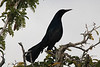 May 4, 2014 - (Black Point Park and Marina [from trail] / Homestead, Miami-Dade County, Florida) -- Boat-tailed Grackle