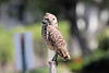 May 4, 2014 - (Marco Island [Hernando Drive] / Collier County, Florida) -- Burrowing Owl