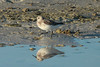 May 5, 2014 - (Fort Myers Beach / Lee County, Florida) -- Sanderling
