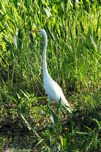 April 28, 2014 - (Babcock/Webb Wildlife Management Area / Punta Gorda, Charlotte County, Florida) -- Gread Egret
