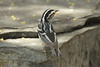 May 1, 2014 - (Dry Tortugas National Park [Garden Key / Fort Jefferson] / Monroe County, Florida) -- Black & White Warbler