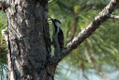 April 28, 2014 - (Babcock/Webb Wildlife Management Area / Punta Gorda, Charlotte County, Florida) -- Red-cockaded Woodpecker