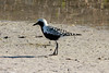 May 5, 2014 - (Fort Myers Beach / Lee County, Florida) -- Black-bellied Plover