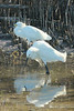 May 5, 2014 - (Fort Myers Beach / Lee County, Florida) -- Snowy Egrets