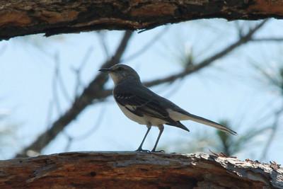 April 28, 2014 - (Babcock/Webb Wildlife Management Area / Punta Gorda, Charlotte County, Florida) -- Ever present Northern Mockingbird