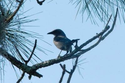 April 29, 2014 - (Archbold Biological Station / Venus, Highlands County, Florida) -- Florida Scrub Jay