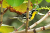 May 1, 2014 - (Dry Tortugas National Park [Garden Key / Fort Jefferson] / Monroe County, Florida) -- Yellow-throated Warbler