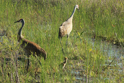 April 28, 2014 - (Babcock/Webb Wildlife Management Area / Punta Gorda, Charlotte County, Florida) -- Pair of adult Sandhill Crane with two colts