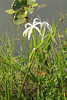 May 3, 2014 - (Everglades National Park [Royal Palm Visitor Center] / Miami-Dade County, Florida) -- Swamp Lily [Crinum americanum]