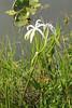 May 3, 2014 - (Everglades National Park [Royal Palm Visitor Center] / Miami-Dade County, Florida) -- Swamp Lily [Crinum americanum]