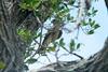 May 1, 2014 - (Dry Tortugas National Park [Garden Key / Fort Jefferson] / Monroe County, Florida) -- Merlin