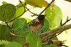 May 1, 2014 - (Dry Tortugas National Park [Garden Key / Fort Jefferson] / Monroe County, Florida) -- Bay-breasted Warbler