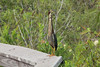 May 3, 2014 - (Everglades National Park [Royal Palm Visitor Center] / Miami-Dade County, Florida) -- Green Heron