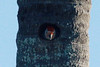 May 5, 2014 - (Fort Myers Beach / Lee County, Florida) -- Red-bellied Woodpecker in nest cavity