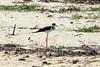 May 1, 2014 - (Dry Tortugas National Park [Garden Key / Fort Jefferson] / Monroe County, Florida) -- Black-necked Stilt