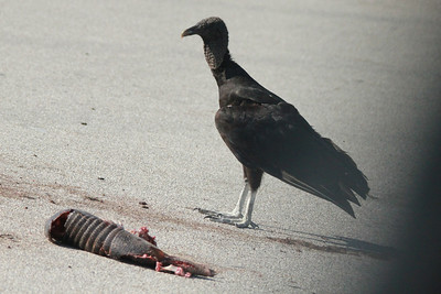 April 29, 2014 - (Old Hwy 8 & 731 / Venus, Highlands County, Florida) -- Black Vulture with Armadillo dinner