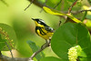 May 1, 2014 - (Dry Tortugas National Park [Garden Key / Fort Jefferson] / Monroe County, Florida) -- Magnolia Warbler