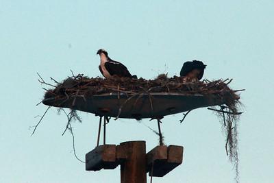 April 29, 2014 - (Across from Ramada Inn / Lake Placid, Highlands County, Florida) -- Osprey on nest