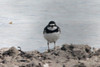 May 2, 2014 - (Boca Chica Road / Key West Naval Air Station, Monroe County, Florida) -- Semipalmated Plover